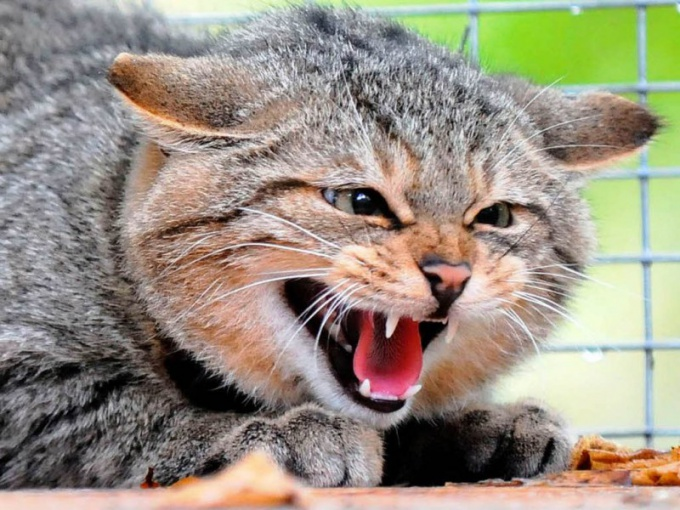 Why a cat hisses