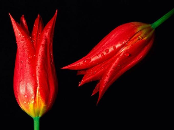 Тюльпаны и лилии - луковичные растения.