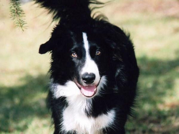 Бордер-колли - одна из самых умных собак