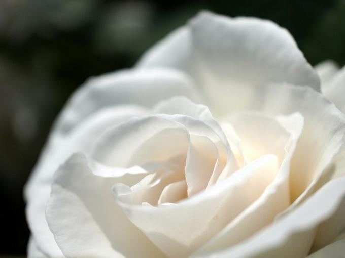 Духовность, целомудрие и чистота являются символическими смыслами белой розы