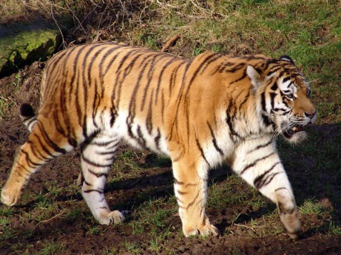 сколько всего видов тигров