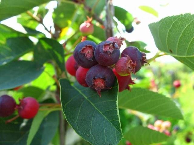 Чем полезна ягода ирга