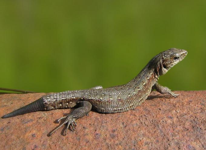 травоядные рептилии