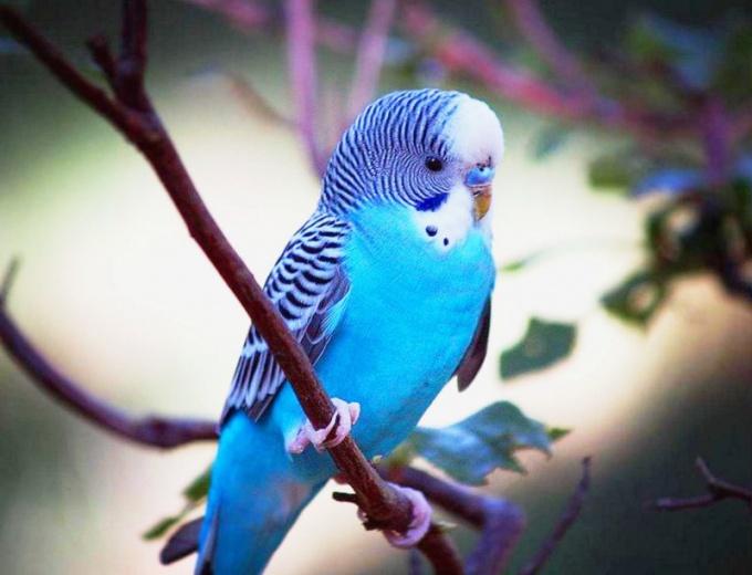 Как вернуть улетевшего попугая
