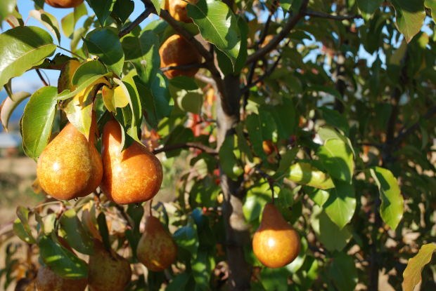 Why blacken leaves of young pear