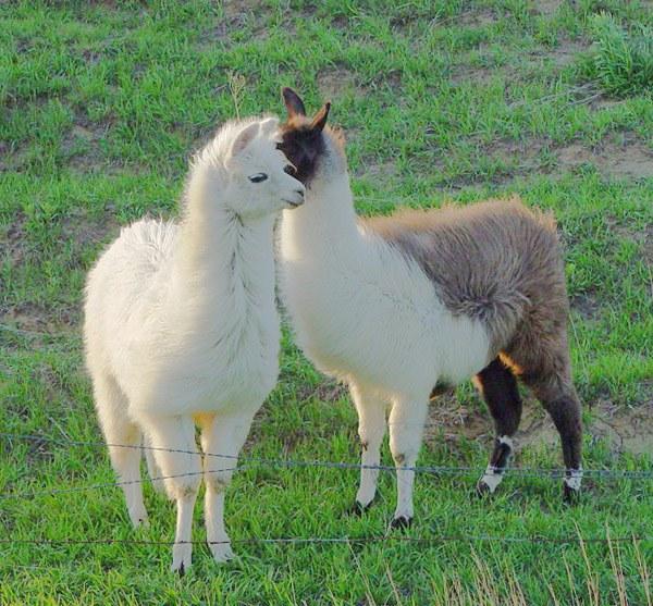 Перуанская альпака — источник ценнейшей шерсти