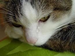 делать если у котёнка слезятся глазки