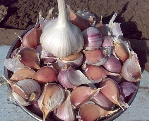 When to plant garlic for the winter
