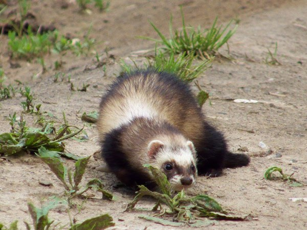 The diet of the ferret