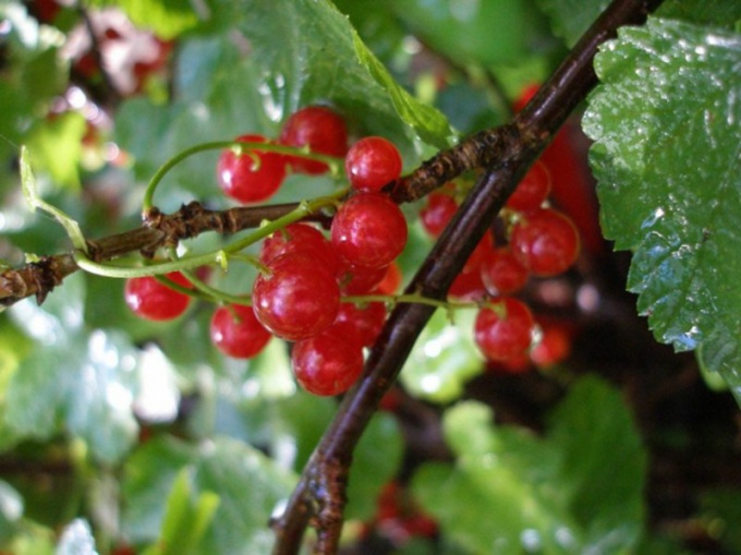 For cuttings, choose a healthy currant Bush