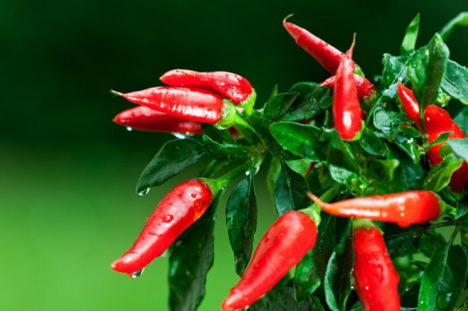 How to use tincture of Cayenne pepper for hair growth