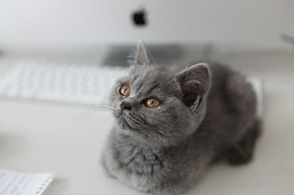 """Какой породы котенок из рекламы """"Вискас"""""""