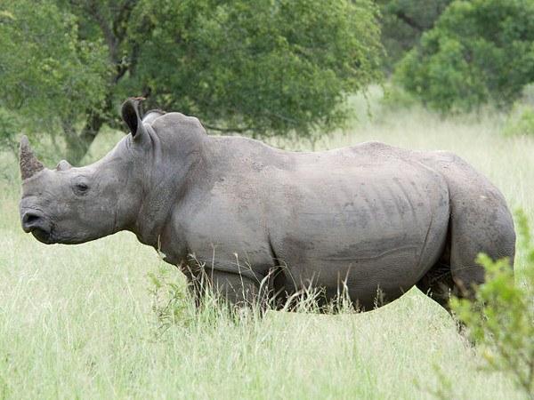 Белый носорог - одно из курпнейших млекопитающих
