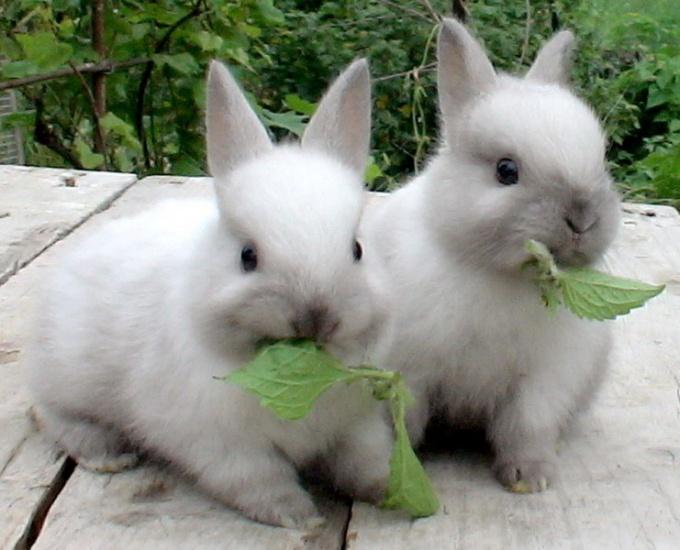 кормить декоративного кролика
