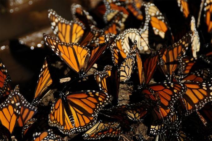 Чем знаменита бабочка монарх