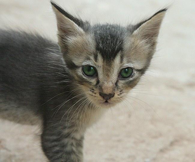 Нужно ли делать котенку прививки