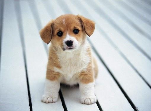 Как купить собаку на Авито