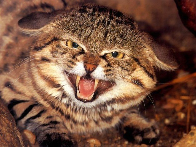 Как приручить злую кошку