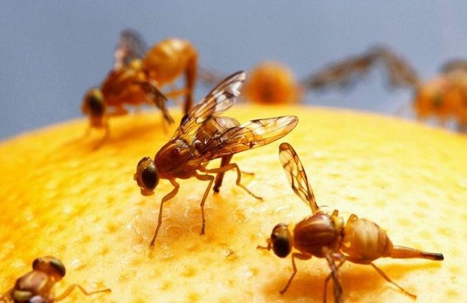 Пир фруктовых мух
