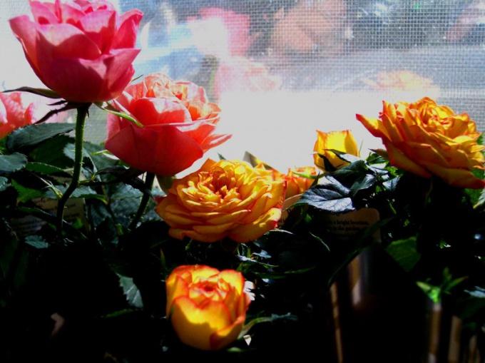 """Как ухаживать за комнатной розой """"Кордана микс"""""""