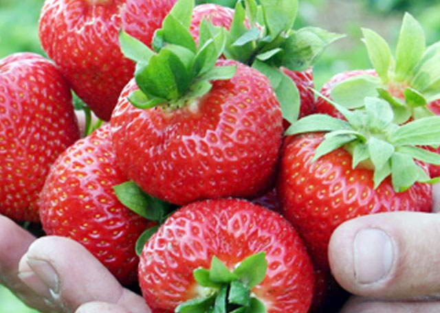 What's the best variety of strawberry for the middle band