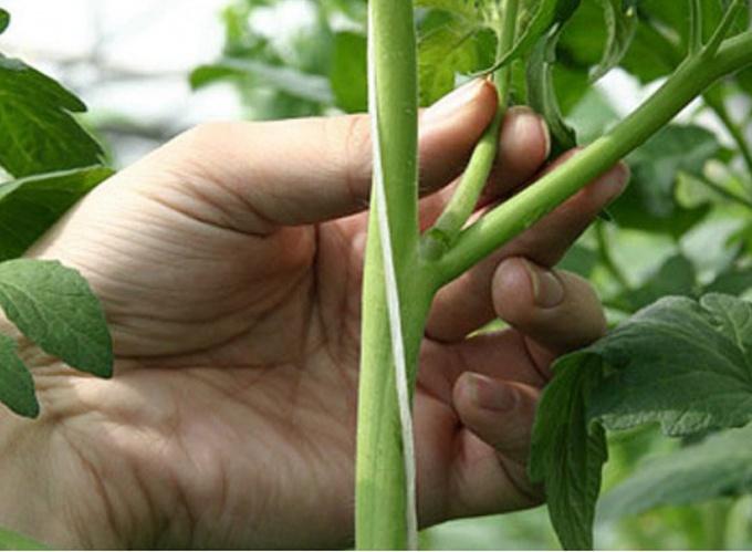 Как прищипывать пасынки на огурцах и помидорах