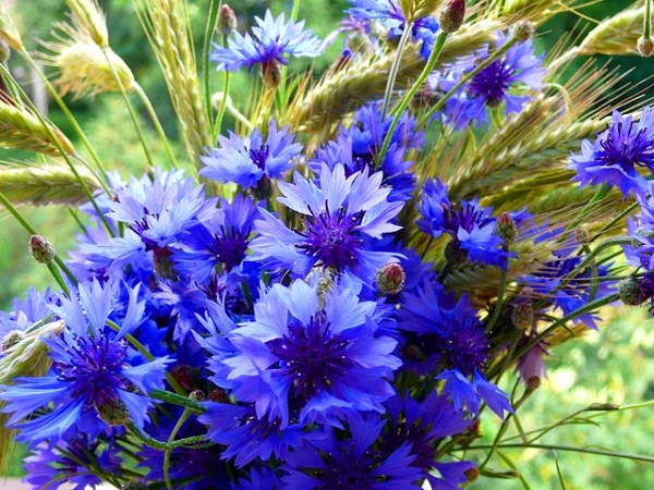 Flowers of cornflower - the natural cure for umbilical hernia