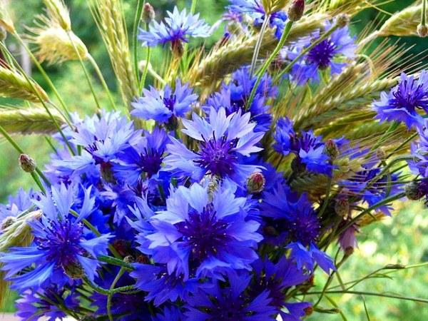 Цветки василька - природное лекарство от пупочной грыжи