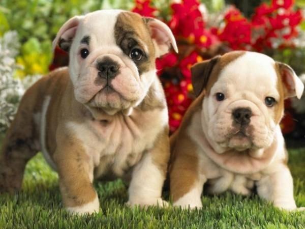 Как проверить грыжу у новорожденного щенка