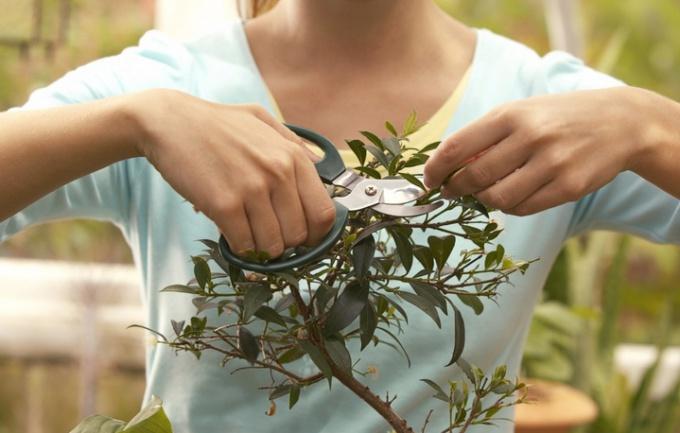 Как производить весеннюю обрезку комнатных растений