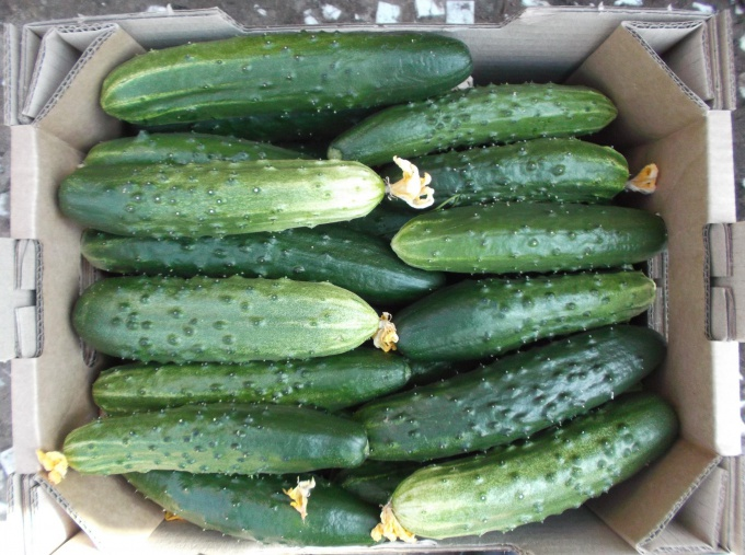 Proper storage of fresh cucumbers