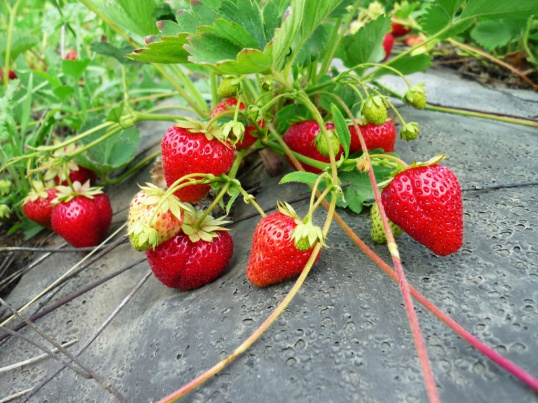 Fertilizing for garden strawberry