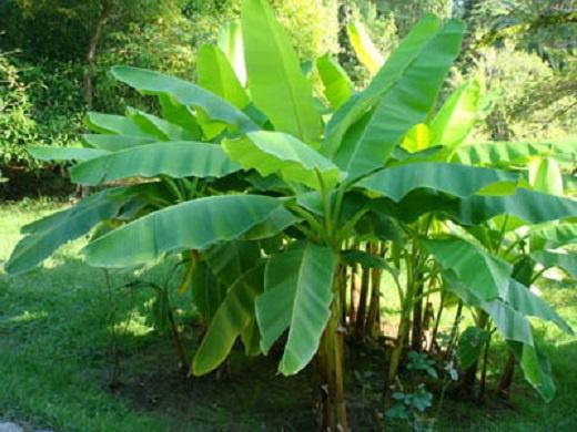 Как вырастить банан на дачном участке