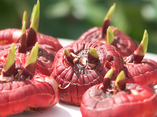 Как подготовить луковицы гладиолусов к посадке