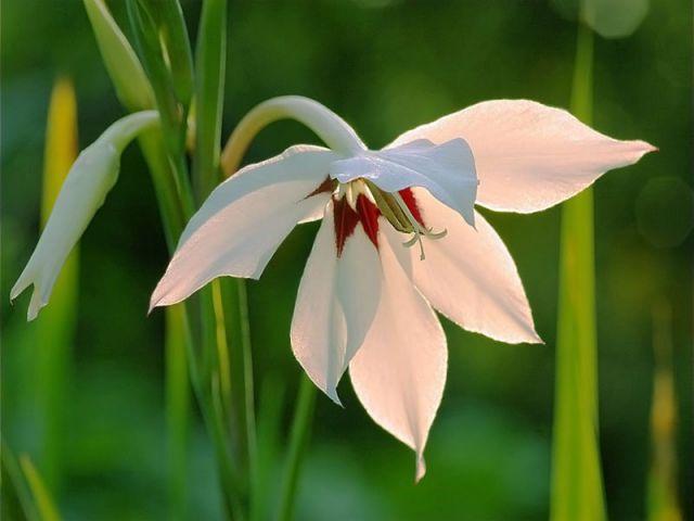 Экзотические луковичные растения для цветника