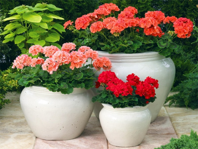 How to grow geranium