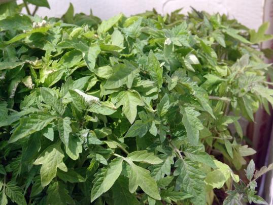 Как вырастить крепкую рассаду помидоров