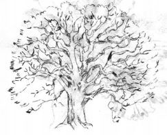 Как нарисовать дуб