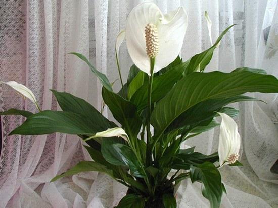 Как часто нужно поливать цветок «женское счастье»
