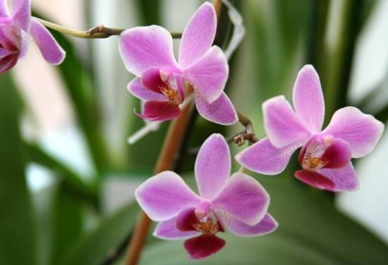 Правильная пересадка орхидеи