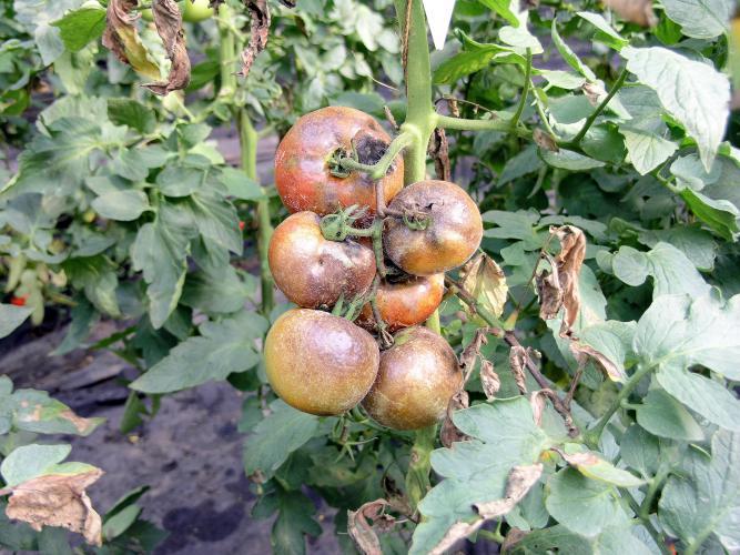Чем лечить фитофтороз томатов