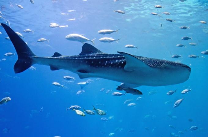 Какая рыба самая большая в мире
