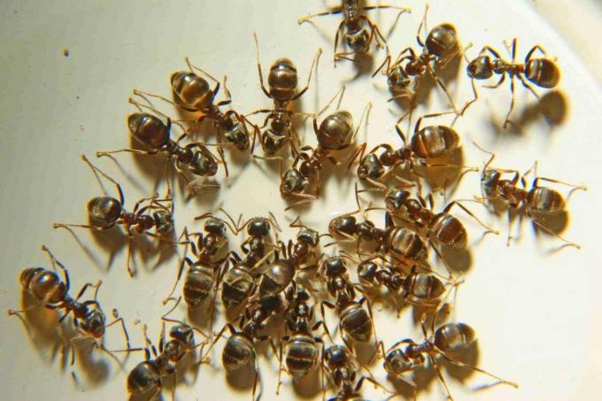 способы избавиться от муравьев