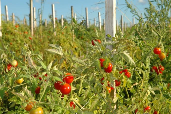 Самые ранние сорта томатов для открытого грунта