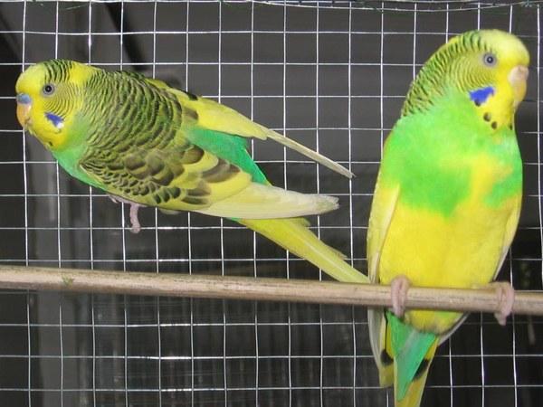 Сколько лет живет волнистый попугай
