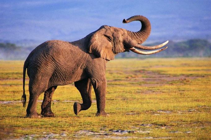 Слоны являются долгожителями в своей нише животного царства