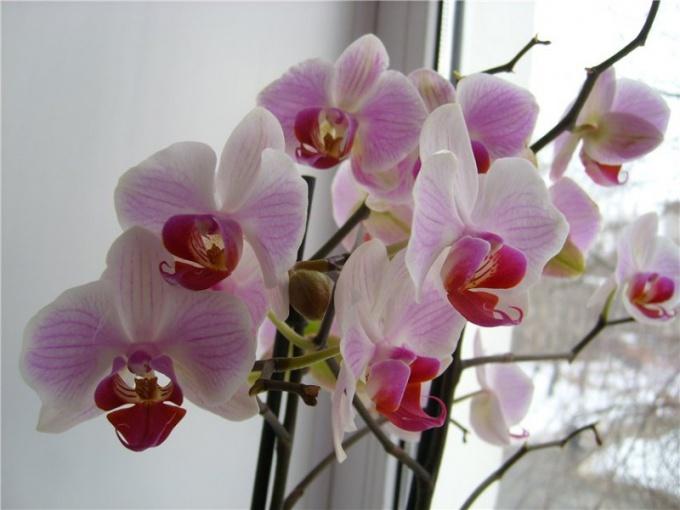 Орхидея похожа на принцессу - прекрасна и капризна