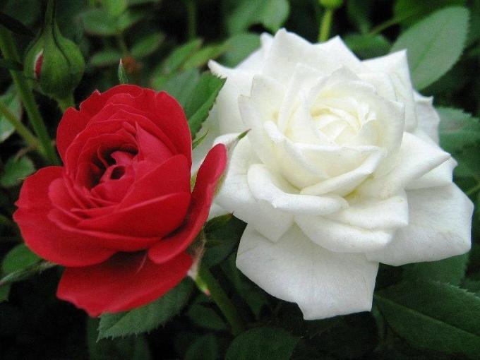 Какой цветок является символом Англии