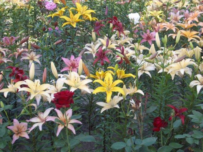 Розы и лилии на одной клумбе