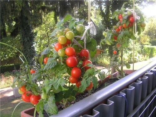 Early varieties of tomatoes for balconies and home gardens
